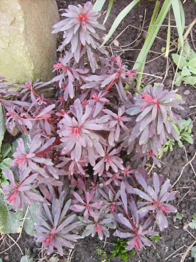 Euphorbia purpurea (Euphorbia purpurea)