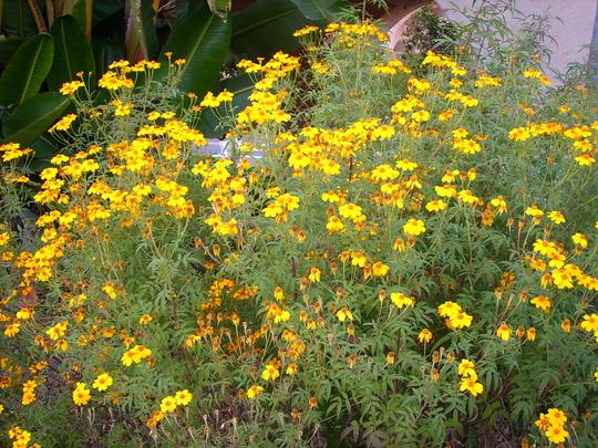 Tagetes lemmonii - Tangerine Scented Marigold (Tagetes lemmonii - Tangerine Scented Marigold)