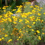 Tagetes lemmonii - Tangerine Scented Marigold (Tagetes lemmonii - Tangerine Scented Marigold)
