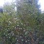 daphnie  (daphnie tree)
