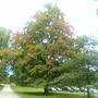 maple at chatsworth