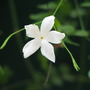 In the courtyard - Poet's Jasmine (Jasminum officinale 'Grandiflorum')
