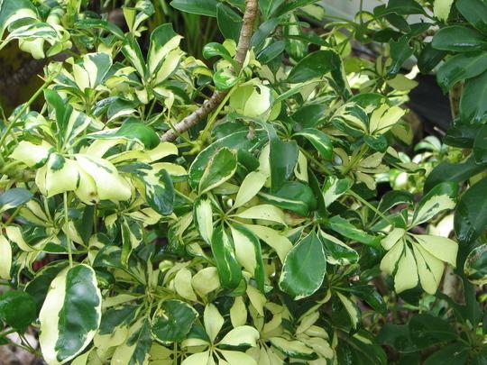 In the courtyard - Dwarf Variegated Schefflera (Schefflera arboricola (Australian Umbrella Tree))