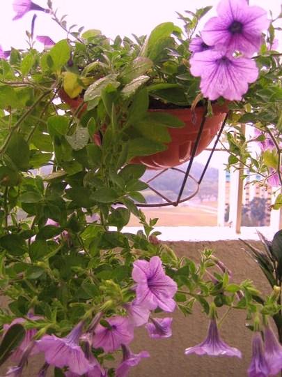 purple Petunia (Petunia)