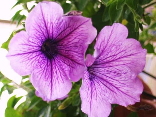 lavender Petunia (Petunia)