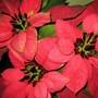 Poinsettia (Close up) (Euphorbia pulcherrima (Poinsettia))