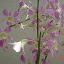 orchid light purple