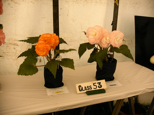 Begonias at a local show.
