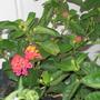 A garden flower photo (Lantana)