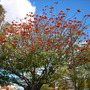 Eythrina caffra - Kaffir Tree, Coral Tree (Eythrina caffra - Kaffir Tree, Coral Tree)