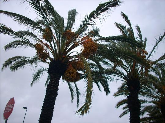 Phoenix dactylifera - Date Palms Blowing in Today's Storm Winds (Phoenix dactylifera - Date Palm)