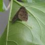 moth lay eggs