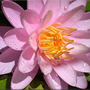 Waterlily, Unknown pink (Nymphaea odorata (Water lily))