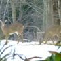 White-tailed deer in the garden once more