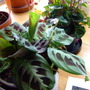 Maranta leuconeura massangeana (Maranta leuconeura massangeana)