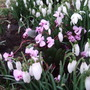 Cyclamen coum with the snowdrops round the ash tree. (Cyclamen coum (Cyclamen))