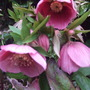 Pink_hellebore_plant