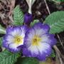 Purple_primrose