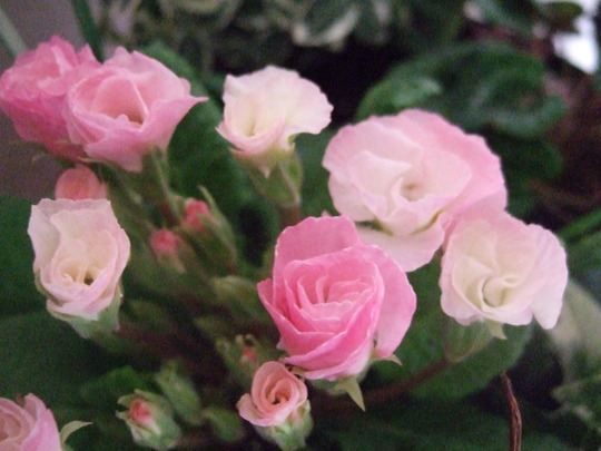 Pink 'primlet'.