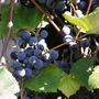 Kym's Concords (Vitis labrusca (Concord Grape))