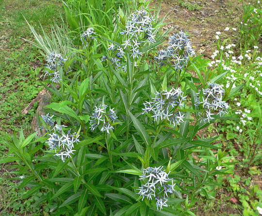 Amsonia, Bluestar, Blue milkweed (Amsonia ciliata)