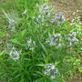 Amsonia_blue_star_fullvw_5_21_08_small