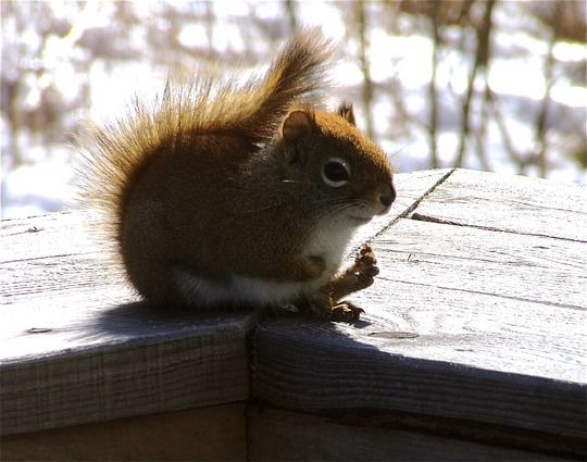 That red squirrel again