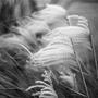 Phragmites (Phragmites australis (Bamboo Reed))