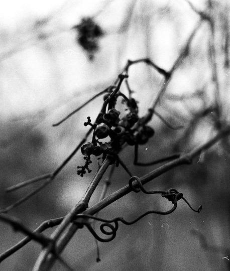 Canada Moonseed (Menispermum canadense (Canada Moonseed))