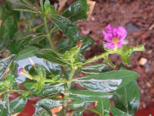 purple cuphea (Cuphea hyssopifolia (Hawaiian Heather))