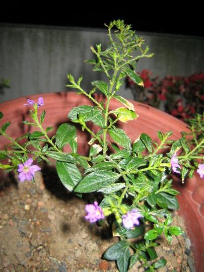 Cuphea (Cuphea hyssopifolia (Hawaiian Heather))