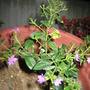 Cuphea hyssopifolia (Hawaiian Heather)
