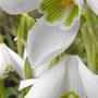 Snowdrops (Galanthus nivalis (Common snowdrop))