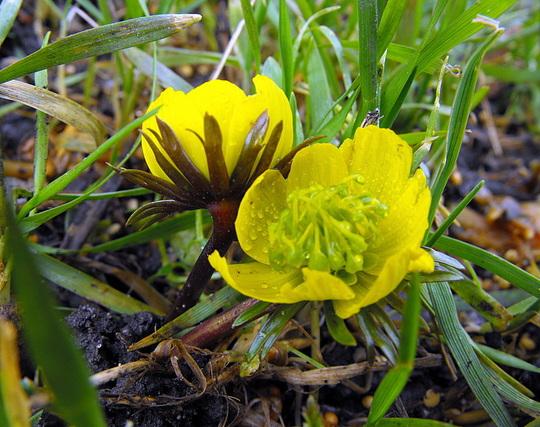 Aconite Pic 4 Spritz :) (Eranthis hyemalis (Winter aconite))