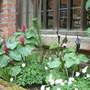 Trilliums, Anemones& Arisaema sikokianum