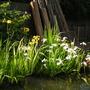 Iris pseudacorus and iris laevigata (Iris pseudacorus variagata(Yellow Flag))
