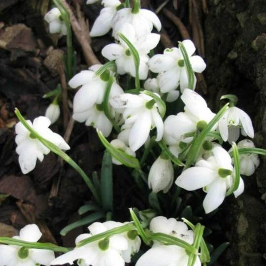 Snowdrops (Galanthus elwesii (Snowdrops))