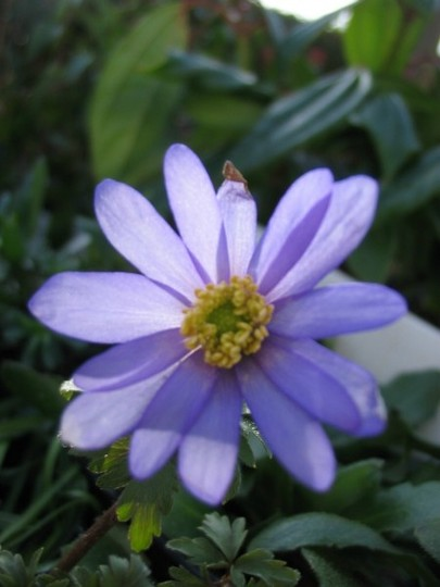 Anemone blanda (Anemone blanda)