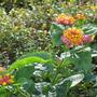 Lantana in the garden below (Lantana camara (Lantana))