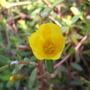 Yellow potulaca flowers (potulaca)