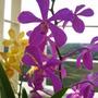 Pinkish purple orchid (mokara)