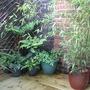 Bamboo & Ferns (Phyllostachys nigra)