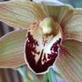Cymbidium bloom (Cymbidium)