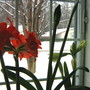 No sunshine for the Amaryllis today! (Amaryllus)