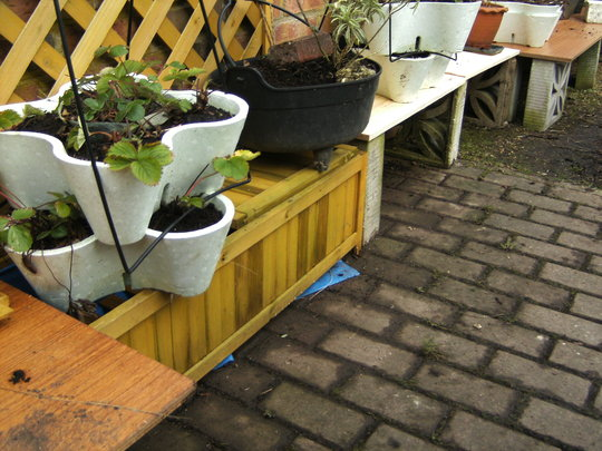 assorted strawberry plants, feb 09. (strawberries)
