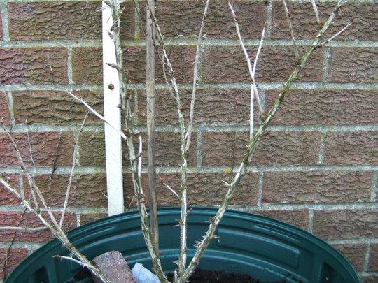 goose berry (Ribes uva-crispa (Gooseberry))