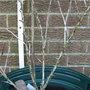 Ribes uva-crispa (Gooseberry)