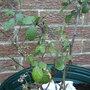 logan berry (Rubus x loganobaccus (Loganberry))