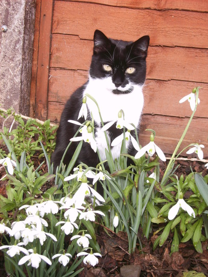 Birtie looking for bees in the snowdrops (Galanthus nivalis (Common snowdrop))