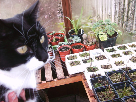 Cat in a Greenhouse (Felix domesticus 'Varigatus')